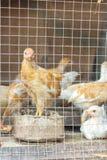 Door kippen in kooien te fokken Stock Afbeelding