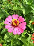 doorbells kolumbijski kwiat fotografia royalty free