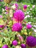 doorbells kolumbijski kwiat Zdjęcia Stock