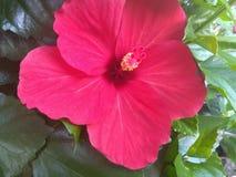 Doorbladert de hibiscus rode bloem en royalty-vrije stock afbeeldingen