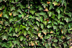 Doorbladert muur Stock Fotografie