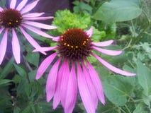 Doorboor bloemen Echinacea Royalty-vrije Stock Fotografie