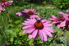 Doorboor bloemen Echinacea royalty-vrije stock foto's