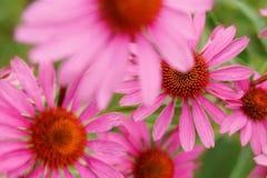 Doorboor bloemen Echinacea Sluit omhoog van roze Echinacea-bloemen Stock Foto's