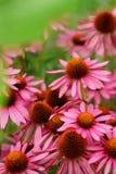 Doorboor bloemen Echinacea Sluit omhoog van roze Echinacea-bloemen Royalty-vrije Stock Fotografie
