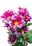 Doorboor chrysant stock foto's