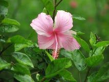 Doorboor de Bloem van de Hibiscus Royalty-vrije Stock Afbeelding