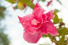 Doorboor de Bloem van de Hibiscus Royalty-vrije Stock Foto