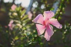Doorboor de Bloem van de Hibiscus Stock Foto's