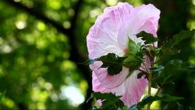 Doorboor de Bloem van de Hibiscus stock footage