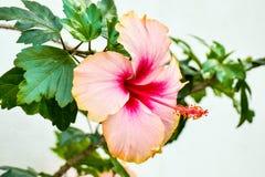 Doorboor de Bloem van de Hibiscus Stock Foto