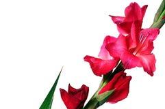 Doorboor de bloesembloem van Gladiolen royalty-vrije stock afbeeldingen