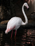 Doorboor een flamingo Stock Fotografie