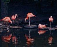 Doorboor Flamingo's Stock Afbeelding