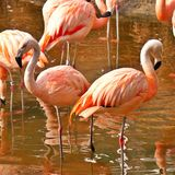 Doorboor flamingo's in water Royalty-vrije Stock Afbeeldingen