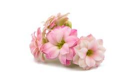 Doorboor kleine mooie bloemen Royalty-vrije Stock Afbeeldingen