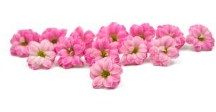 Doorboor kleine mooie bloemen Royalty-vrije Stock Foto's