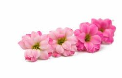 Doorboor kleine mooie bloemen Royalty-vrije Stock Afbeelding