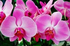 Doorboor Orchideeën Stock Afbeeldingen