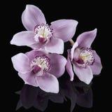 Doorboor Orchideeën op Zwarte stock afbeelding