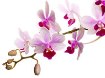 Doorboor Orchidee Stock Foto's