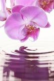 Doorboor Orchidee Royalty-vrije Stock Afbeelding