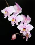 Doorboor phalaenopsisorchidee Royalty-vrije Stock Afbeeldingen