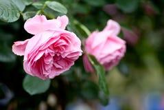 Doorboor rozen Stock Afbeeldingen