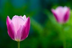 Doorboor tulp Royalty-vrije Stock Afbeelding