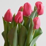 Doorboor Tulpen Royalty-vrije Stock Afbeeldingen