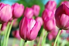 Doorboor tulpen stock fotografie