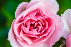 Doorboor weinig bloem Royalty-vrije Stock Afbeeldingen