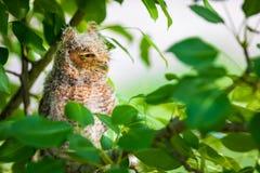 Doordringende kreet Owl Looking Away stock foto's