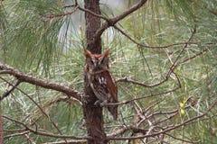 Doordringende kreet Owl Looking Right bij de Camera royalty-vrije stock foto