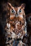 Doordringende kreet Owl Portrait Royalty-vrije Stock Foto's