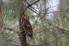 Doordringende kreetuil in een Pijnboom stock foto's