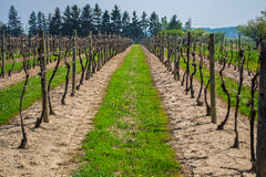 Doorgang van een uitgeputte wijngaard op een duidelijke dag Stock Foto