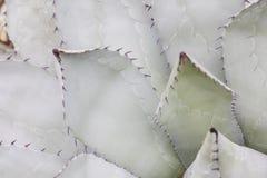 Doorn van cactus in detail royalty-vrije stock foto