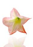 Doornappel of de trompetbloem van de engel op witte achtergrond Royalty-vrije Stock Foto