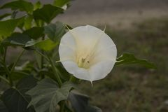 Doornappel Metel Witte bloem kecubung stock fotografie
