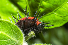 Doornig Caterpillar Stock Foto's