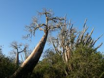 Doornige bosifaty, Madagascar Stock Afbeelding