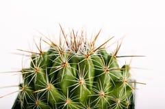 Doornige cactus in bloempot Royalty-vrije Stock Foto's