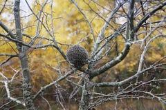 Doornige egel in het de herfstbos Stock Foto's