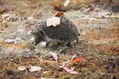 Doornige egel in het de herfstbos Royalty-vrije Stock Foto's