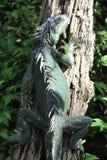 Doornige Leguaan die zich aan een boom vastklampen Stock Fotografie