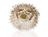 Doornige pufferfish op een witte achtergrond Royalty-vrije Stock Foto's