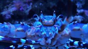Doornige rots overladen zeekreeft, gestippelde Schaaldier stock video