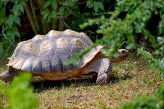 Doornige schildpad stock fotografie