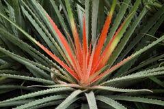 Doornige Tropische Bromelia Tweekleurige Installatie Stock Foto
